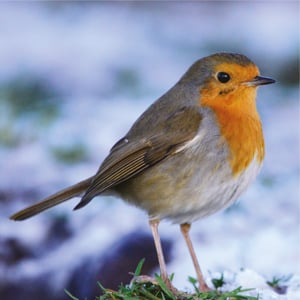Christmas Card Robin